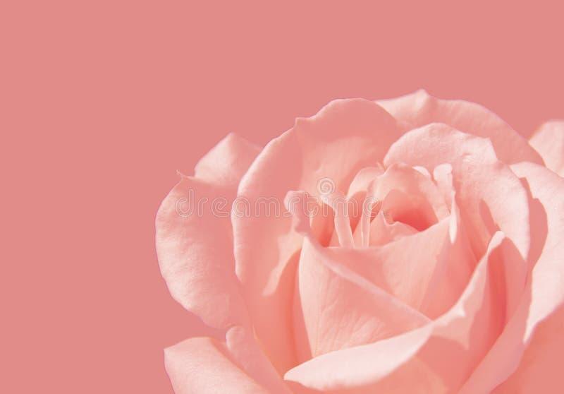 W górę menchii róży miłości symbolu na różowym tle zdjęcia stock
