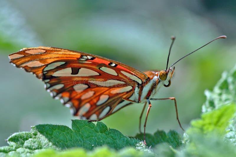 W górę motyliej pozycji na liściu zdjęcie royalty free