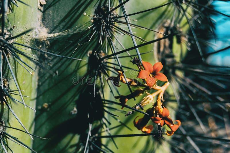 W górę niektóre czerwonych kwiatów kalanchoe obwieszenie obok kaktusa obraz royalty free