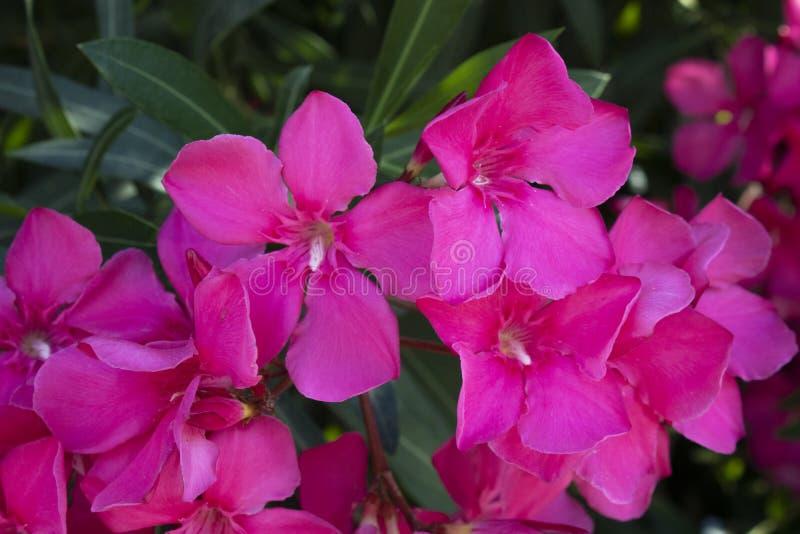 W górę Oleandrowego kwiatu Wielosk?adnikowi kwiaty W menchiach fotografia stock