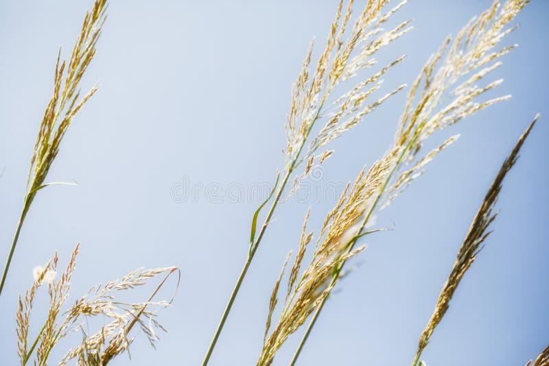 W górę osiągać szczyt luksusowe trzcinowe złote dorośnięcie rośliny przeciw jasnemu niebieskiemu niebu, wzrostowy pojęcia tło z k obraz stock