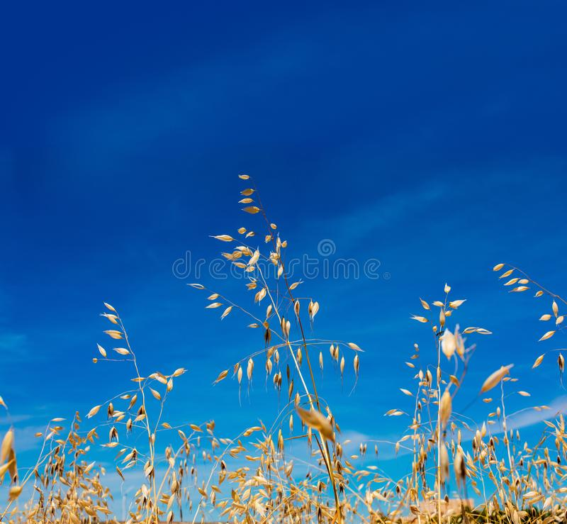W górę owsa i złotego zboża słońcem nad uroczym niebieskim niebem obrazy royalty free