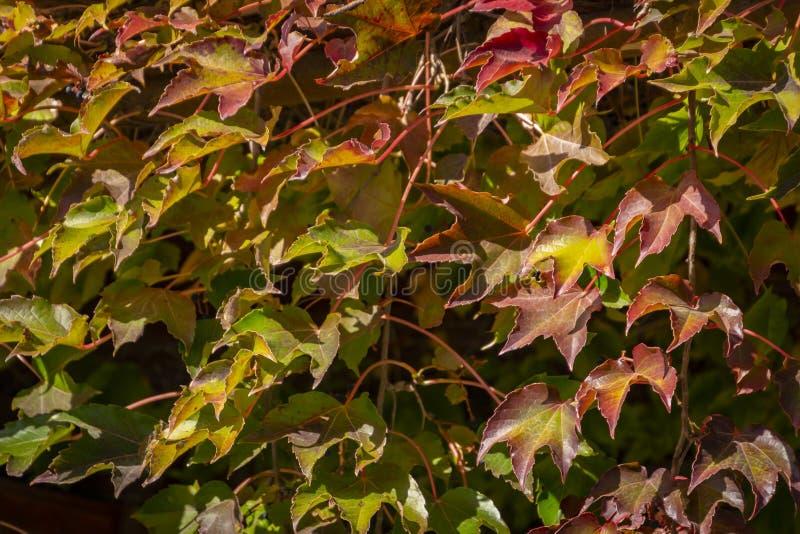 W górę Parthenocissus tricuspidata lub bostonu bluszcza «Veitchii « obraz stock