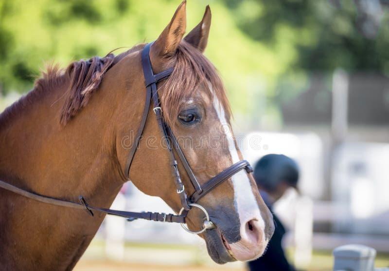 W górę pięknego brązu konia w gospodarstwie rolnym zdjęcia stock