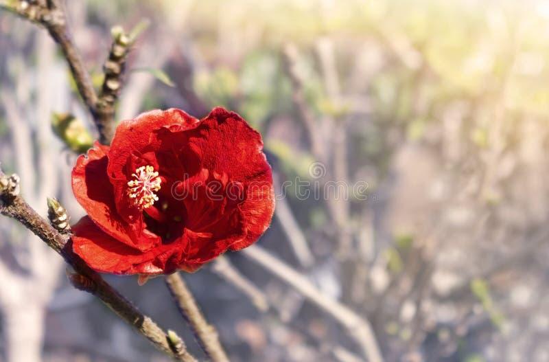 W górę pięknego czerwonego kwiatu w trawie Zamazany jaskrawy t?o zdjęcia stock