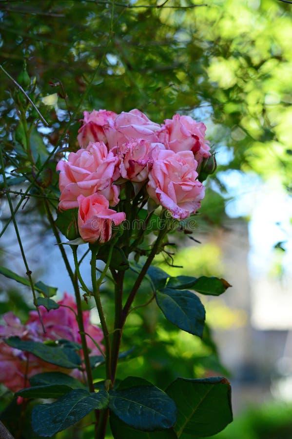 W górę Pięknej menchii róży gałąź, natura, Makro- zdjęcie royalty free