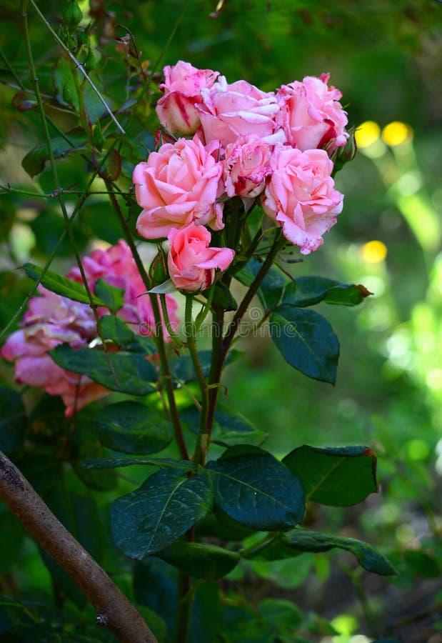 W górę Pięknej menchii róży gałąź, natura, Makro- fotografia royalty free