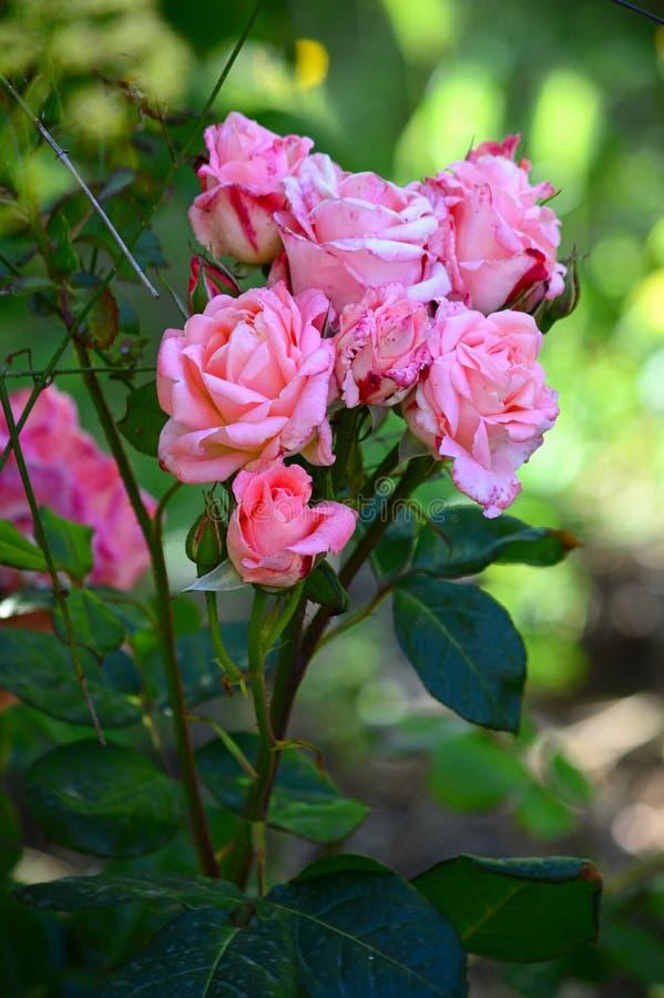 W górę Pięknej menchii róży gałąź, natura, Makro- obraz stock