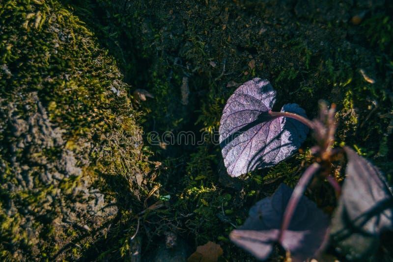 W górę plecy purpurowy liść z kierowym kształtem zdjęcia royalty free