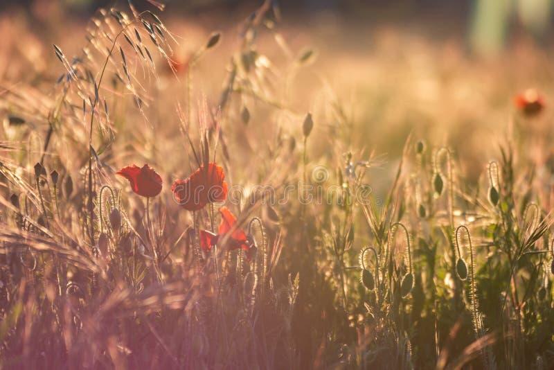 W górę pola maczki w złotym wiosna zmierzchu Typowy wiosna wizerunek w polu fotografia stock