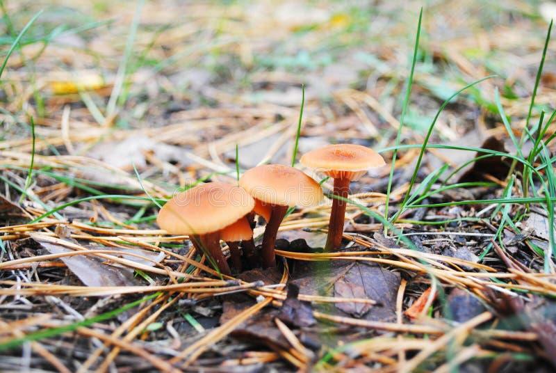 W górę pomarańczowych pieczarek grupy, trawy tło, miękki bokeh obrazy stock