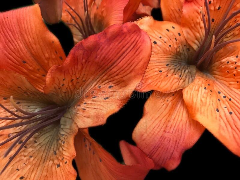 W górę pomarańczowych tygrysiej lelui kwiatów zdjęcia stock