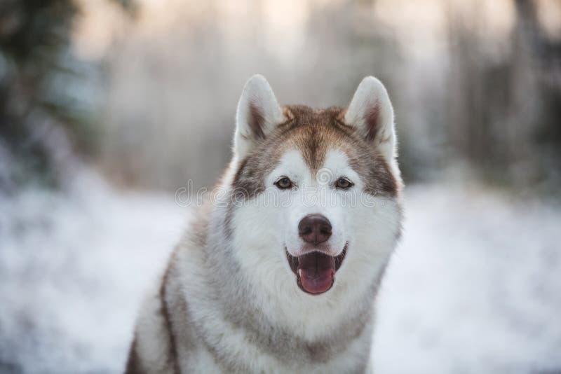 W górę portreta śliczny, szczęśliwy i bezpłatny siberian husky psa obsiadanie w zima lesie, obrazy royalty free