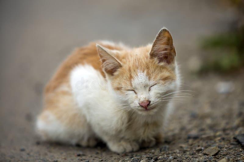 W górę portreta śmieszna śliczna urocza imbirowa mała biała młoda kot figlarka siedzi z zamkniętymi oczami marzący spać outdoors zdjęcie stock