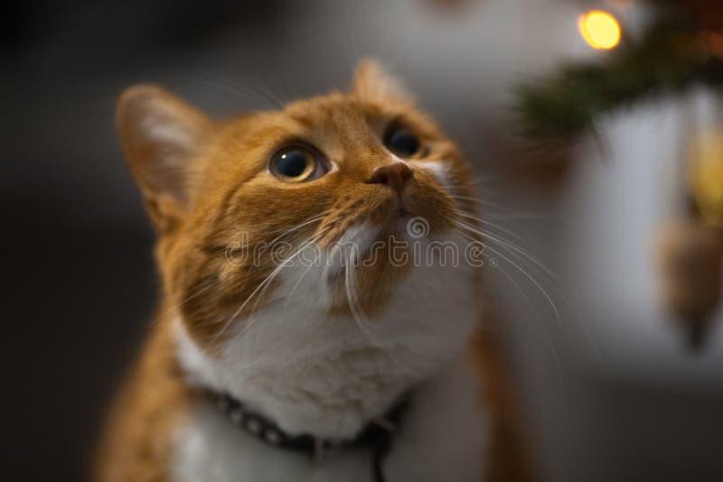 W górę portreta czerwień domu kot przyglądający w górę obrazy stock