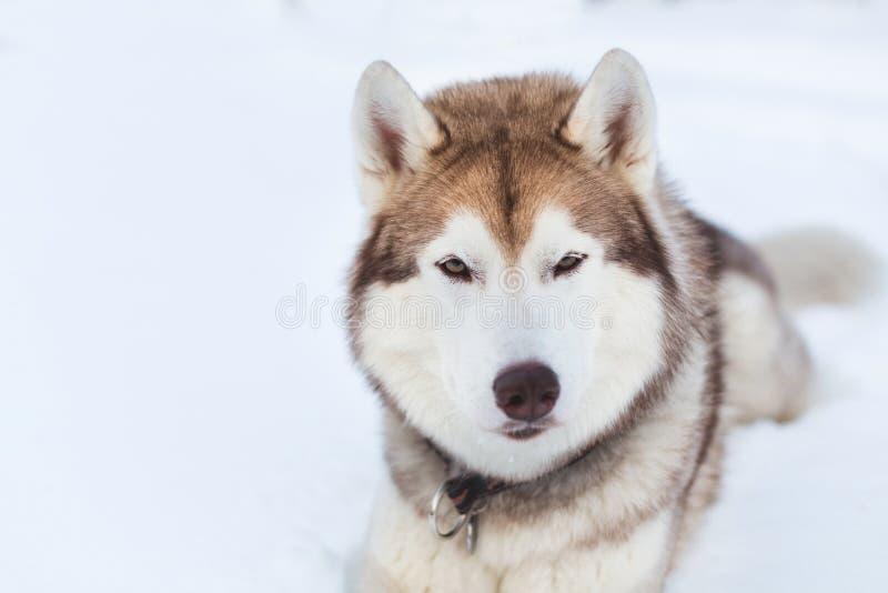 W górę portreta husky psa patrzeć prosto kamera w zima lesie i lying on the beach fotografia royalty free
