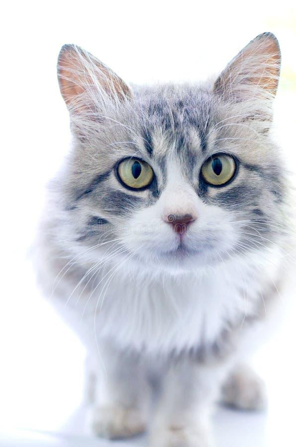 W górę portreta piękny szary młody kot zdjęcia stock