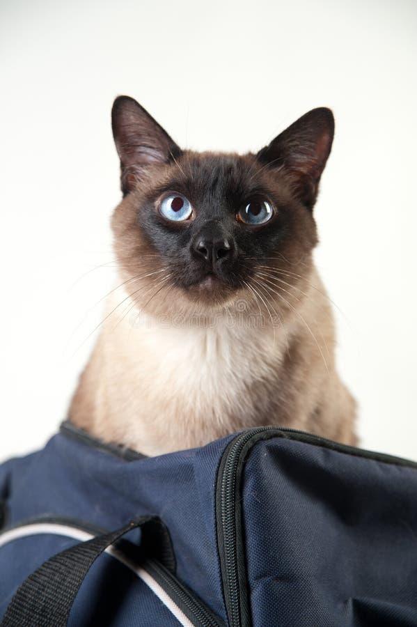 W górę portreta Syjamski kot zdjęcie royalty free