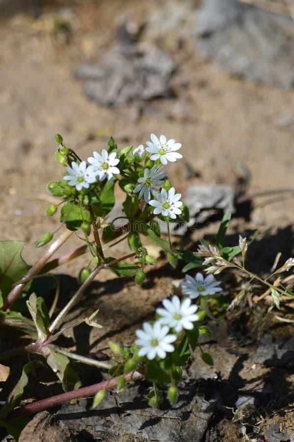 W górę Pospolitej gwiazdnicy kwiatów, Stellaria środki, natura, Makro- obrazy stock