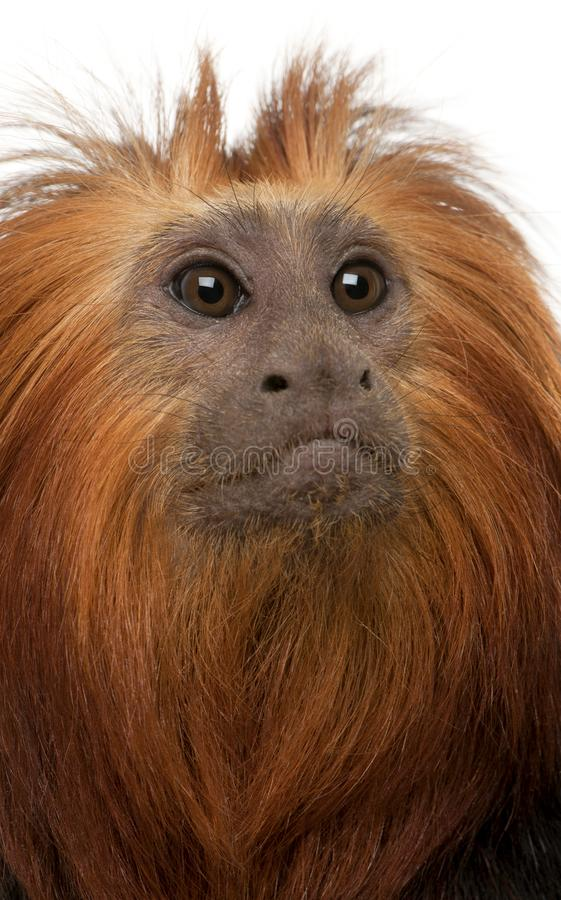 W górę Przewodzącej lew długouszki, Leontopithecus chrysomelas zdjęcie stock