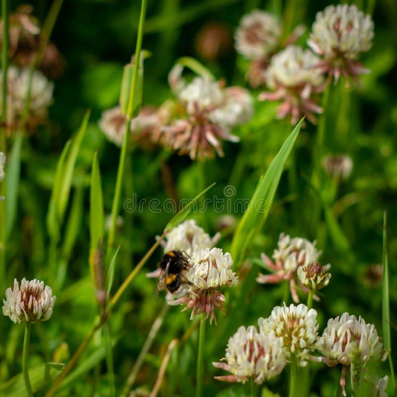 w górę pszczoły Zbierackiego Pollen w Koniczynowym polu fotografia royalty free