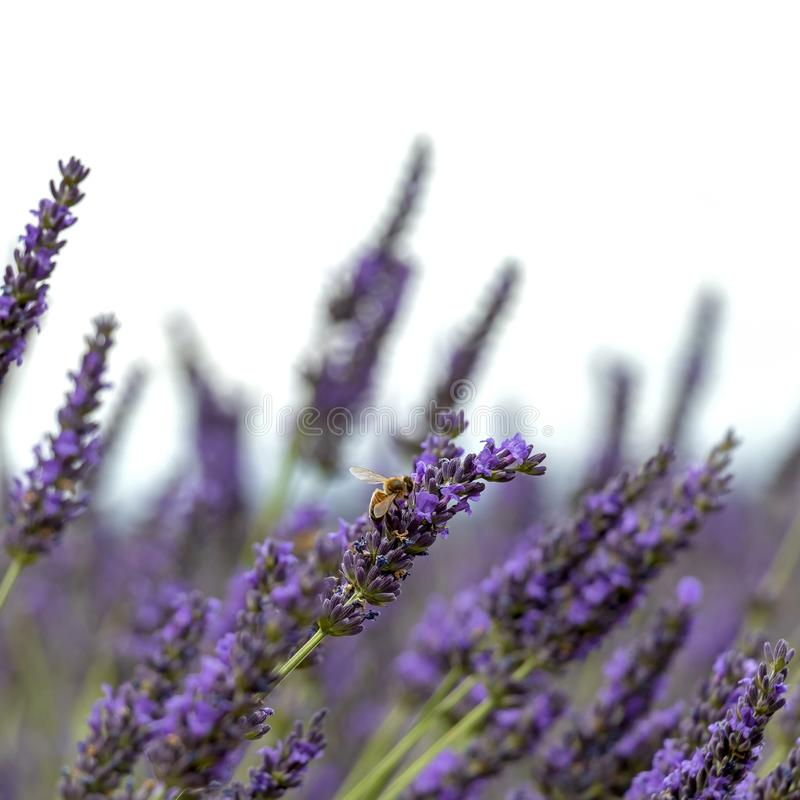 W górę purpurowych lawendowych kwiatów z pszczołą, podtrzymywalnego rolnictwa pola w Provence, Francja fotografia royalty free