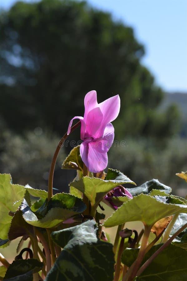W górę Różowych cyklamenów kwiatów, natura, Makro- zdjęcie stock