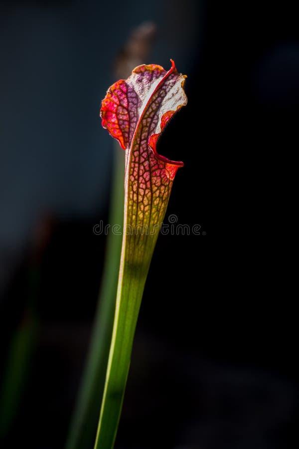W górę Sarracenia leucophylla kwiatu w przedpolu z ciemnym tłem zdjęcia stock