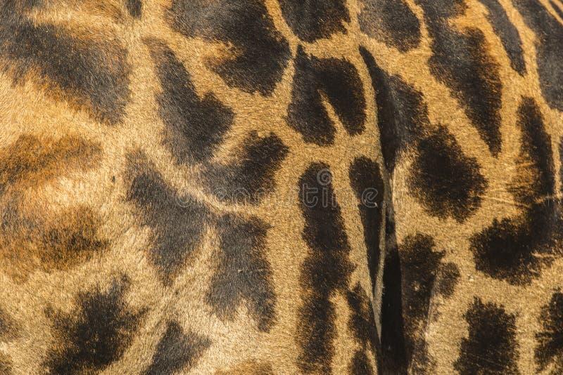 W górę skóry Masai żyrafa fotografia royalty free