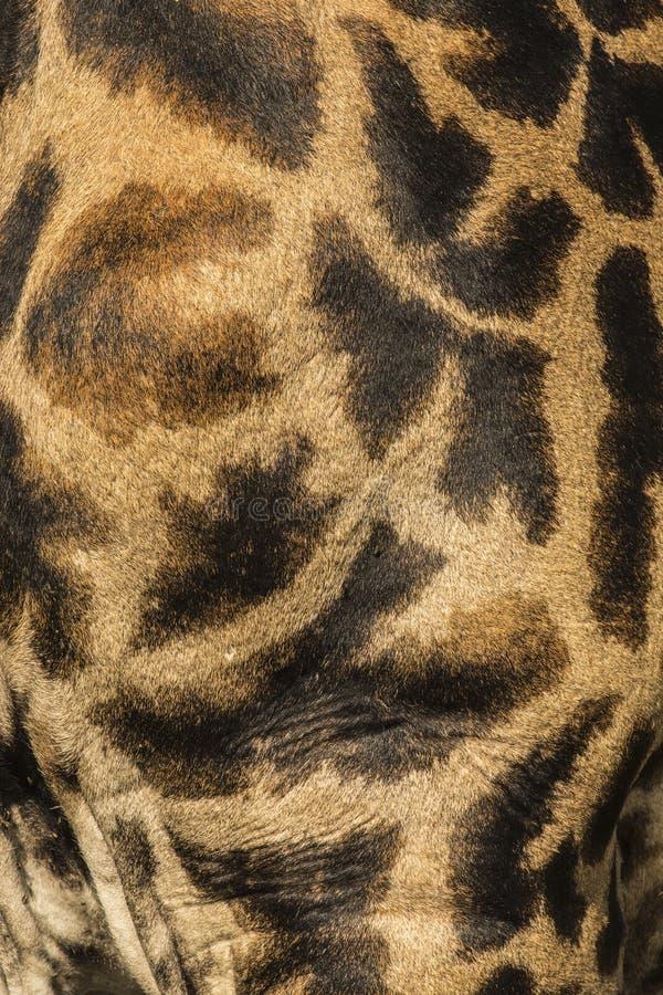 W górę skóry Masai żyrafa zdjęcia stock