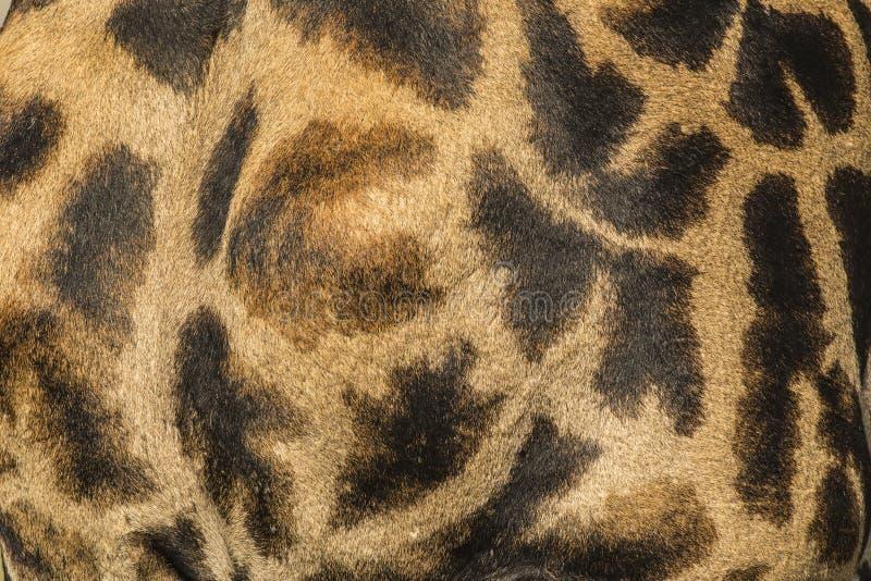 W górę skóry Masai żyrafa zdjęcia royalty free