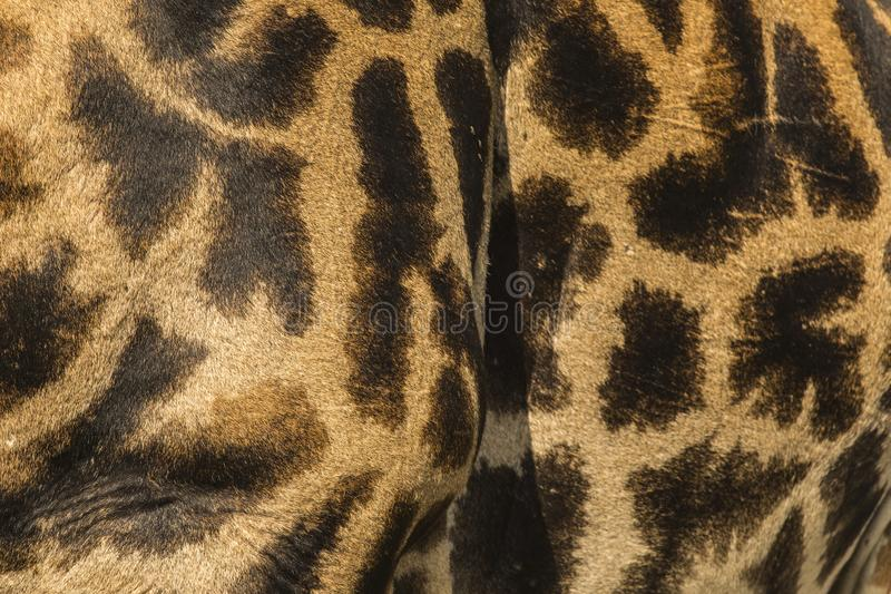 W górę skóry Masai żyrafa fotografia stock
