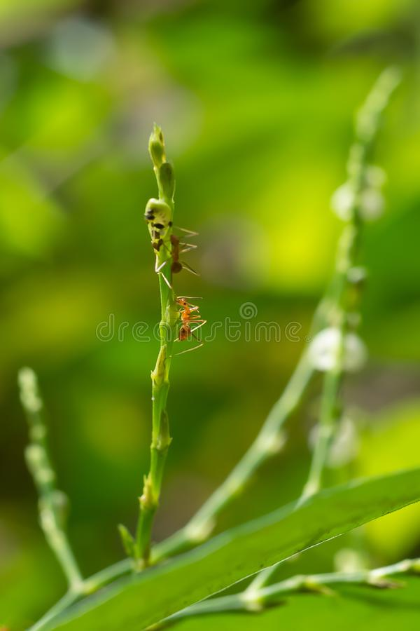 W górę strzałów małe czerwone mrówki wspina się na wierzchołku drzewo Na tle, zielona natura, odświeża zdjęcie stock
