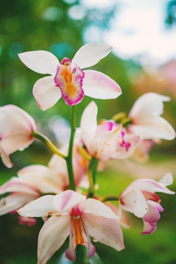 W górę strzał gałąź różowe łaciaste orchidee na zielonej bokeh naturze zdjęcia stock