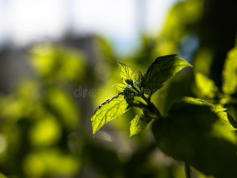 W górę strzału świeży, zielony miętowy dorośnięcie indoors, z ostrości tłem z zdjęcia royalty free