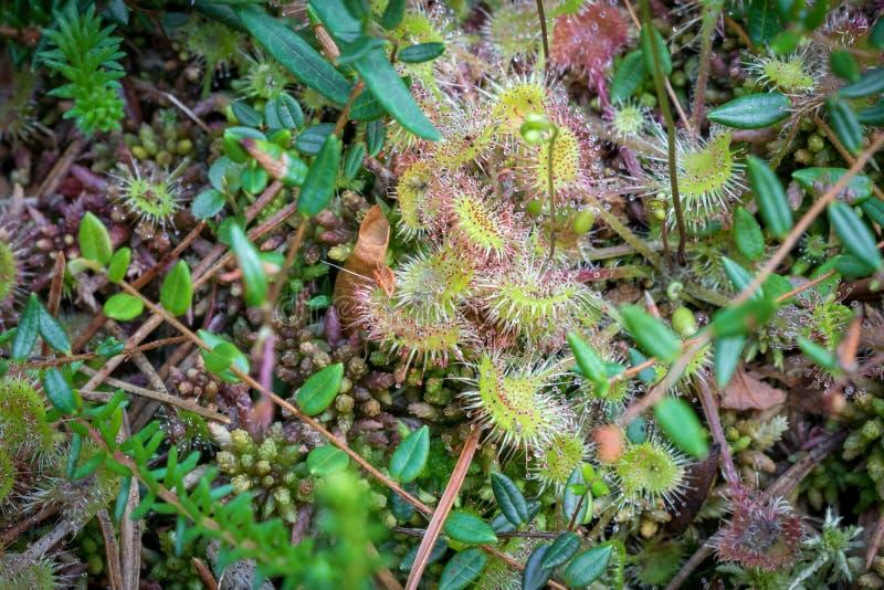 W górę strzału mięsożernej rośliny rosiczki Drosera rotundifolia obrazy stock