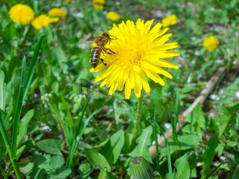 A w górę strzału pszczoły obsiadanie przy Dandelion kwiatem zdjęcia royalty free