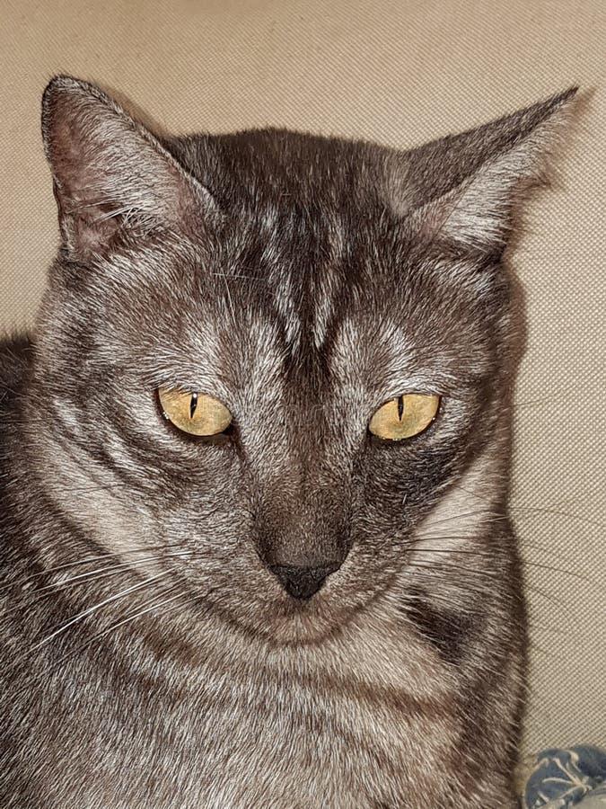 W górę szarego żółwia kota obrazy stock