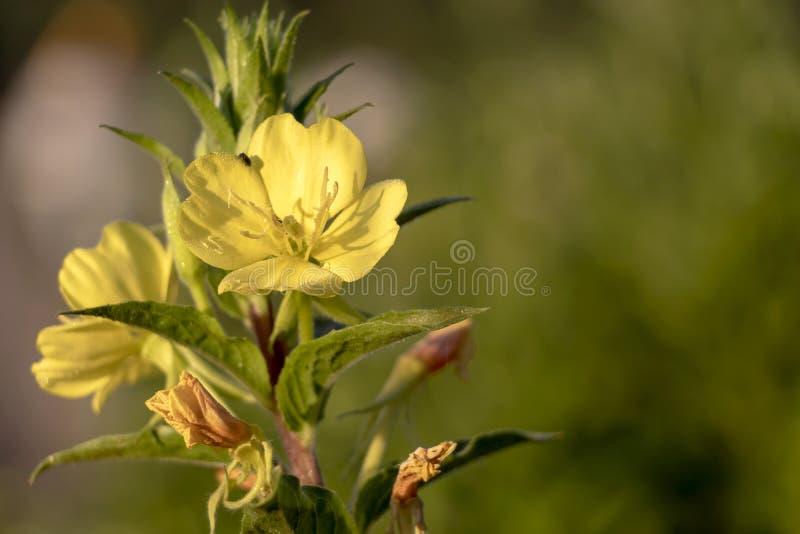 W górę szczegółu żółci wildflowers z zielonymi liśćmi na tle z kopii przestrzenią dla teksta obrazy stock