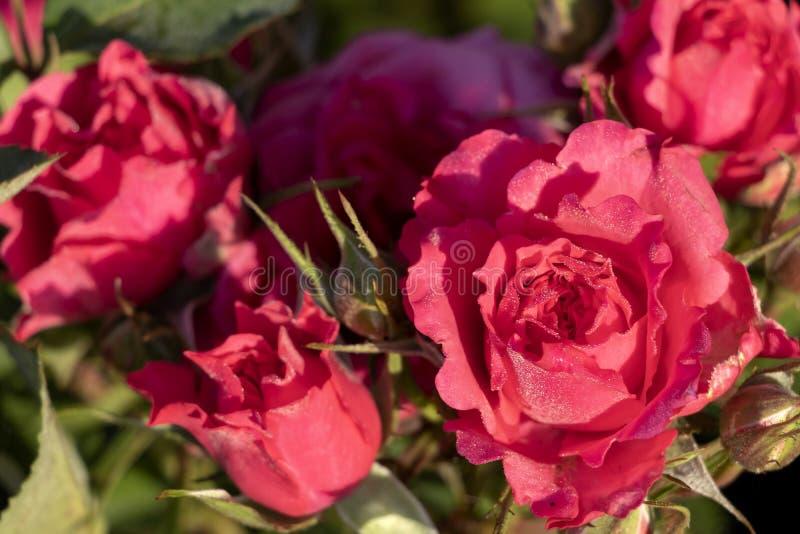 W górę szczegółu menchii róży krzak z zielenią opuszcza na tle z kopii przestrzenią dla teksta fotografia stock