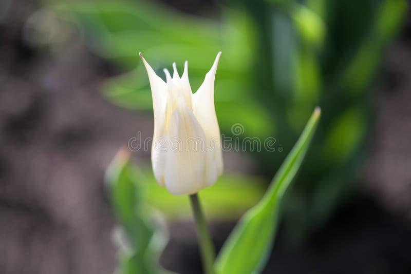 W górę szpilkowatego białego białego tulipanu zdjęcie royalty free
