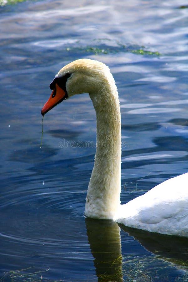 W górę szyi łabędź pije na jeziorze z błękitnym odbiciem i głowy fotografia stock