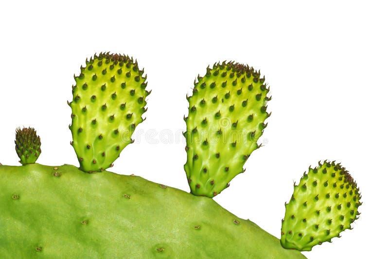 W g?r? Tropikalnego zielonej ro?liny Opuntia kaktusa odizolowywaj?cego na bia?ym tle zdjęcia stock