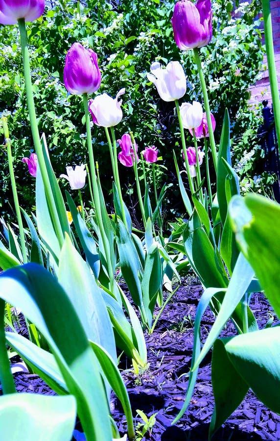 W górę tulipanowego ogródu blisko do spod spodu fotografia royalty free