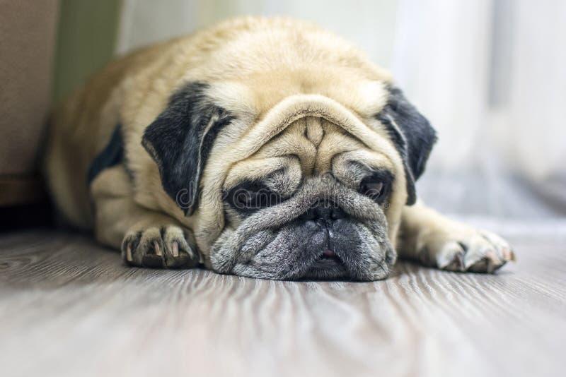 W górę twarzy śliczny psi mops obraz stock