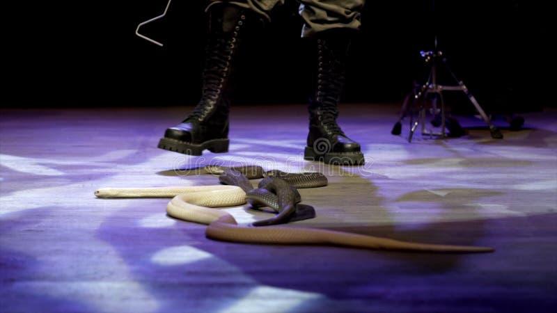W górę węża w cyrku akcja Podrywacz zbiera węże skrada się w cyrkowej arenie podczas występu niebezpieczny obraz royalty free