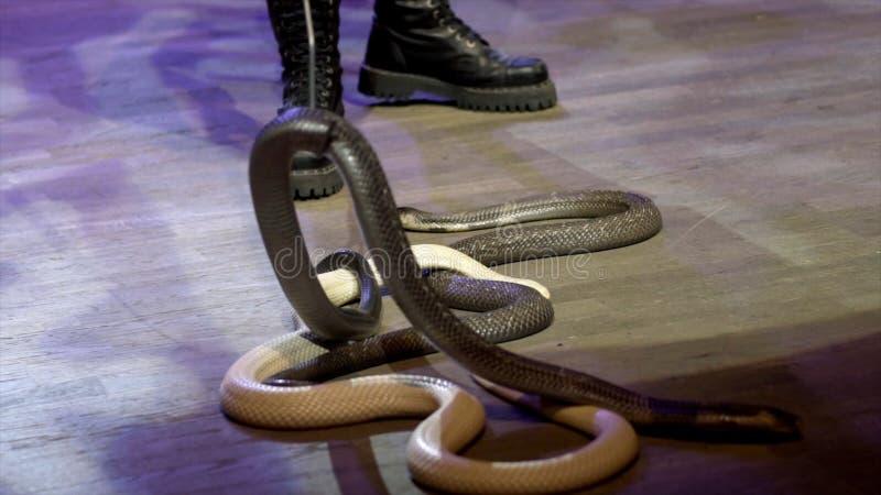 W górę węża w cyrku akcja Podrywacz zbiera węże skrada się w cyrkowej arenie podczas występu niebezpieczny zdjęcia stock