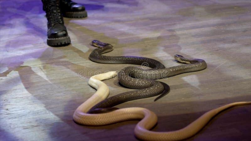 W górę węża w cyrku akcja Podrywacz zbiera węże skrada się w cyrkowej arenie podczas występu niebezpieczny fotografia royalty free