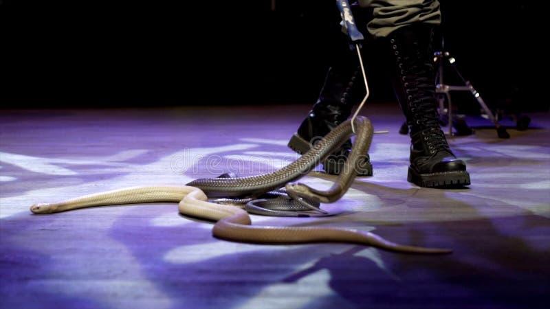 W górę węża w cyrku akcja Podrywacz zbiera węże skrada się w cyrkowej arenie podczas występu niebezpieczny zdjęcie stock