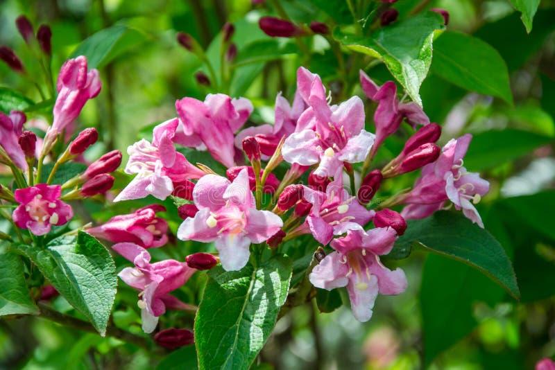 W górę Weigela Rosea lej kształtować menchie kwitnie, w pełni zamknięci i otwarci mali kwiaty z zielonymi liśćmi Selekcyjna ostro zdjęcia stock